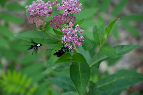 08517 Digger Wasps on Swamp Milkweed