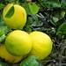Lemon Tree Alden Cornell Molokai Hawaii
