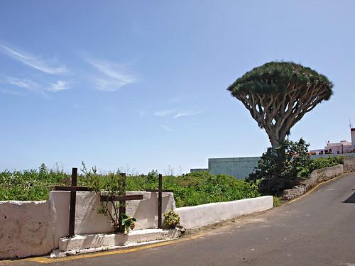 Drago Trees,San Juan del Reparo, Tenerife
