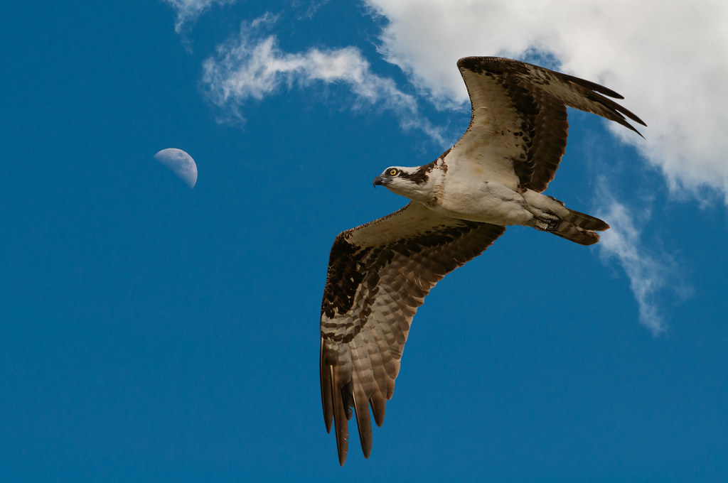 Osprey Composite_.jpg