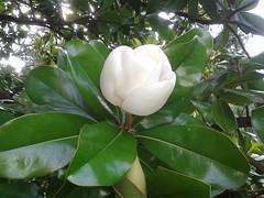 shrub(0.0), camellia sasanqua(1.0), flower(1.0), plant(1.0), theaceae(1.0),