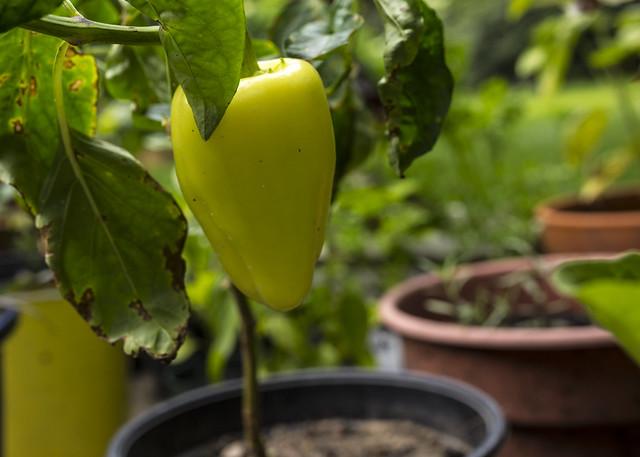 Romanian Pepper