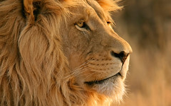 nose, animal, mane, big cats, masai lion, lion, snout, mammal, fauna, close-up, whiskers, safari, wildlife,