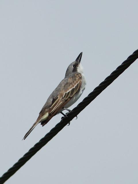 Gray Kingbird -Tyrannus dominicensis 04-20140824