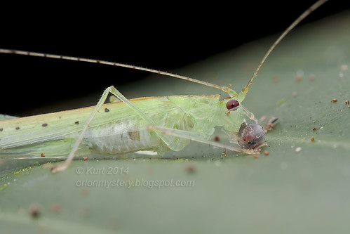 Katydid eating egg IMG_1625 copy (2)