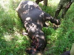 連小犀牛角也不放過,其母親也被盜獵者所殺。圖片來源:KillingforProfit.com