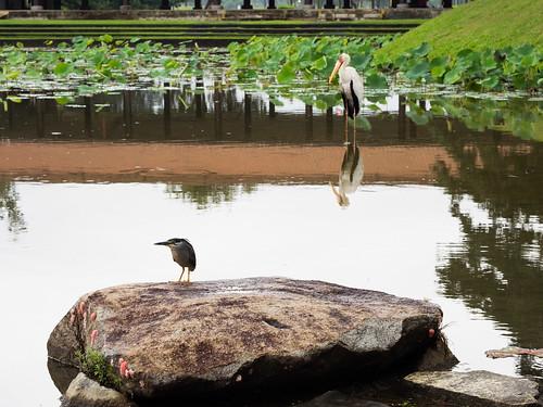 Purple Heron and Milky Stork, Japanese Gardens