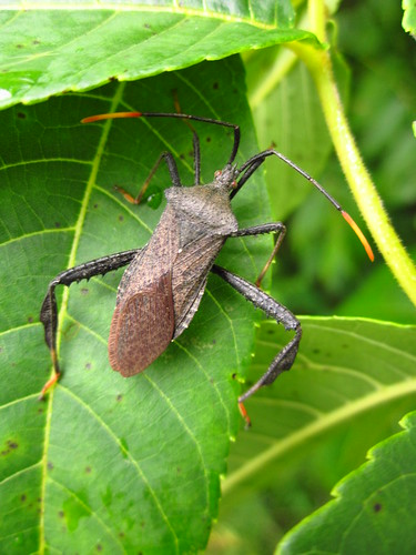 Leaf-footed Bug, Species Acanthocephala terminalis
