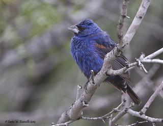 Blue Grosbeak IMG_0597edtsg