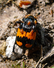 -Nicrophorus vespilloides with mites-