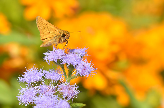 Fiery Skipper 2