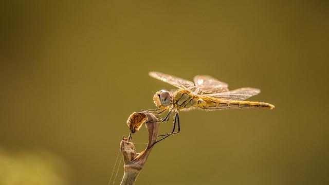libellule, macro, lens
