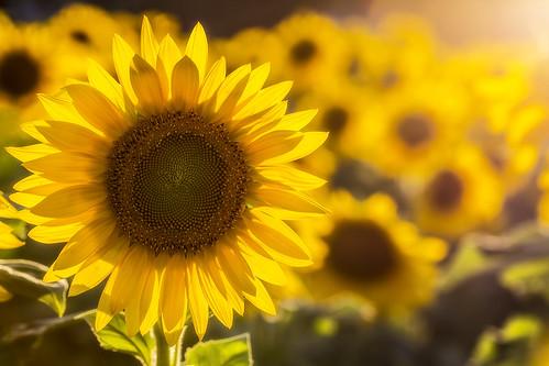 newjersey nj sunflower augusta sunflowermaze sussexcountysunflowermaze