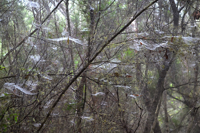 Spider webs, Garajonay rainforest, La Gomera