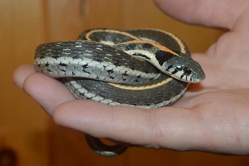 Western Black-necked Garter Snake (Thamnophis c. cyrtopsis)