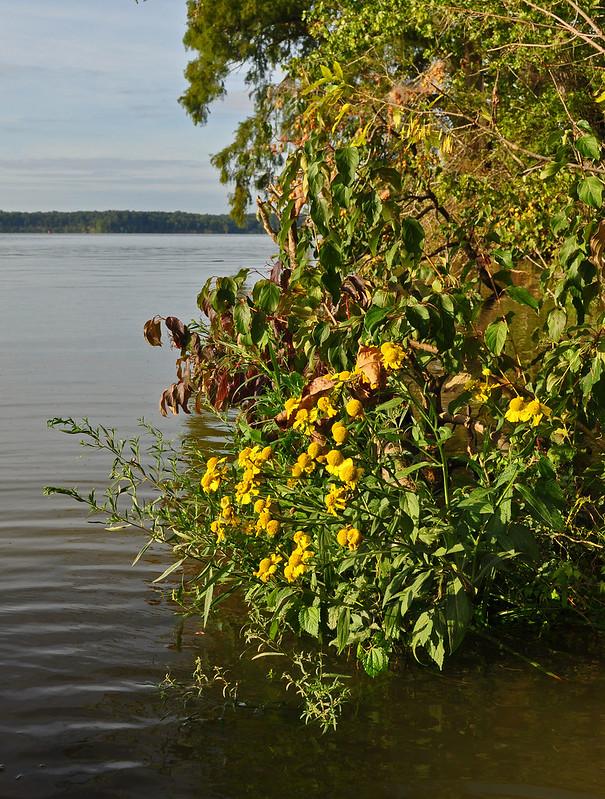 Helenium autumnale (6)