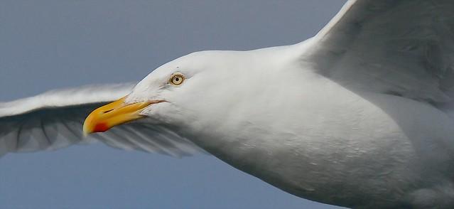Didysis poliarinis kiras ( Larus hyperboreus) Glaucous Gull -  IMG_7665