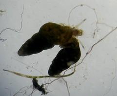 Hydrobia acuta