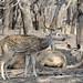 Spotted deer-6