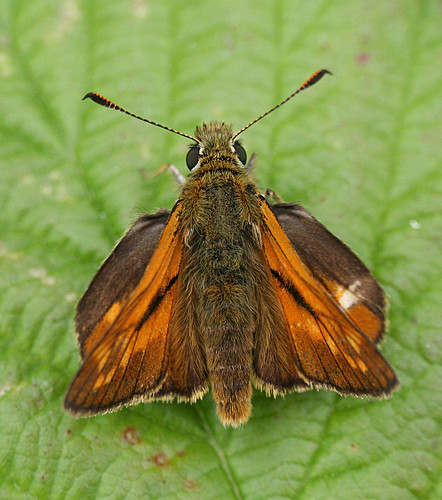 Large Skipper Ochlodes sylvanus Tophill Low NR, East Yorkshire June 2014