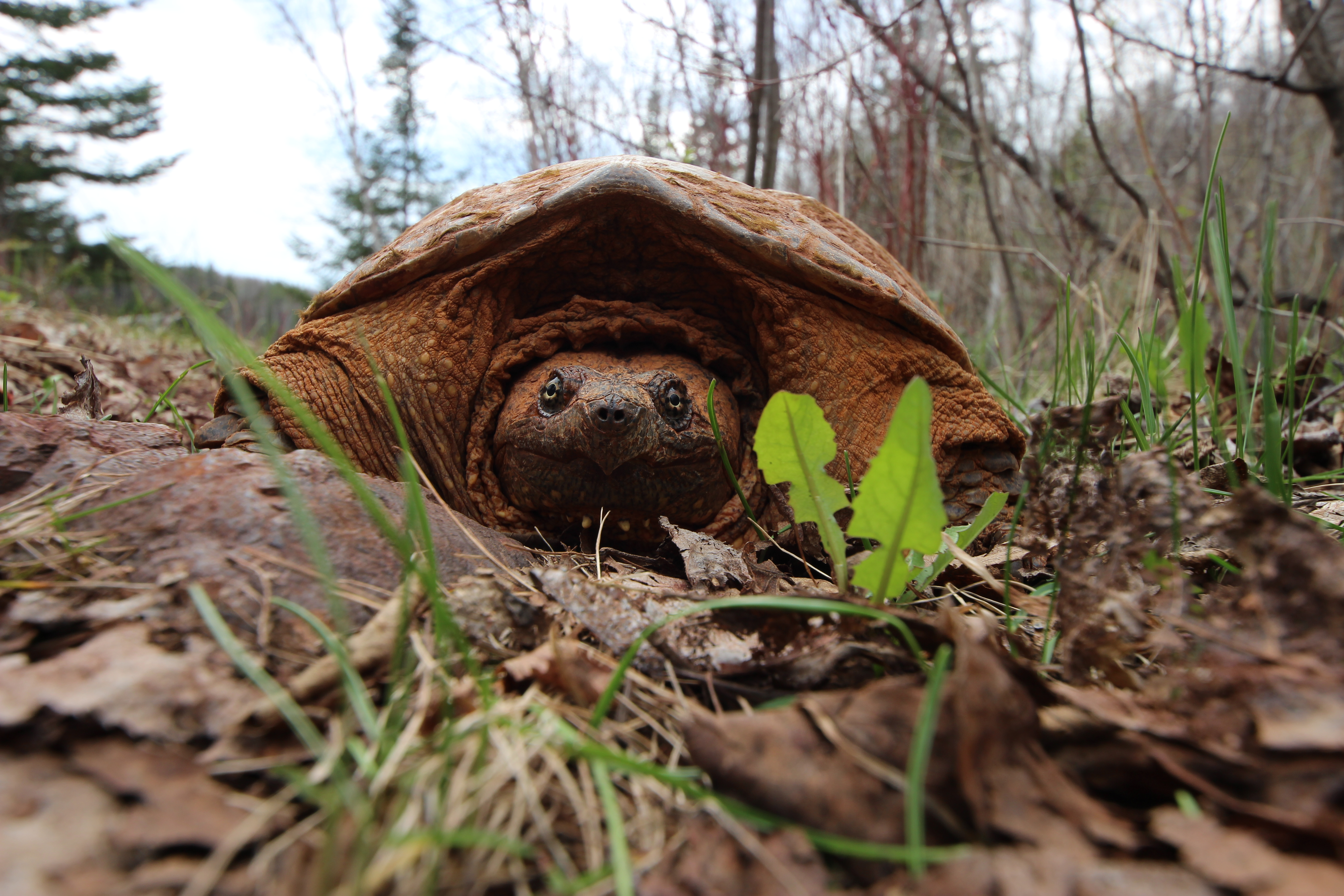 Iron Ore Stained Snapping Turtle