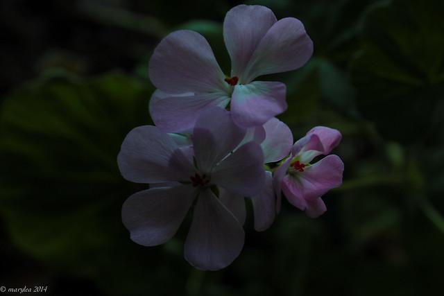 Pink Geranium Secrets