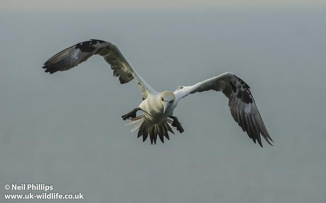gannet landing-2