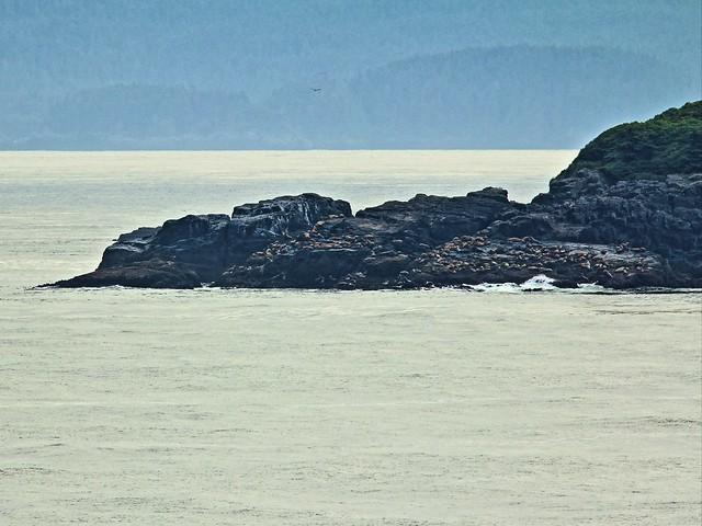 Steller's Sea Lions 2-20140614