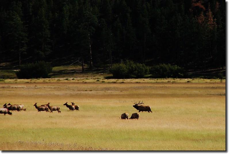 Elks in Moraine Park 5