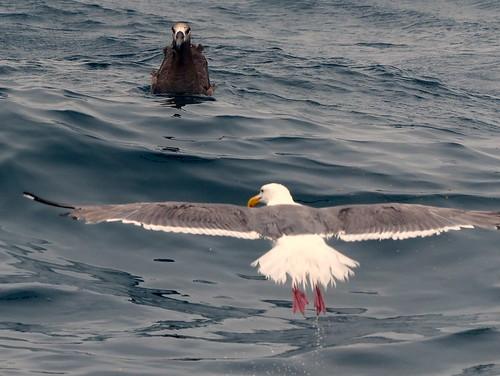 Gull and Albatross