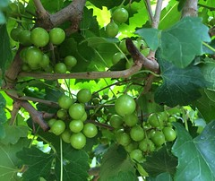 My muscadines are looking good!!