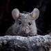 House mouse (Mus musculus) Házi egér