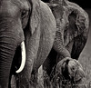 Elephant Family (B&W)