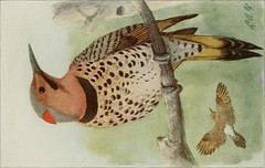 """Image from page 77 of """"The book of birds; common birds of town and country and American game birds"""" (1921)"""