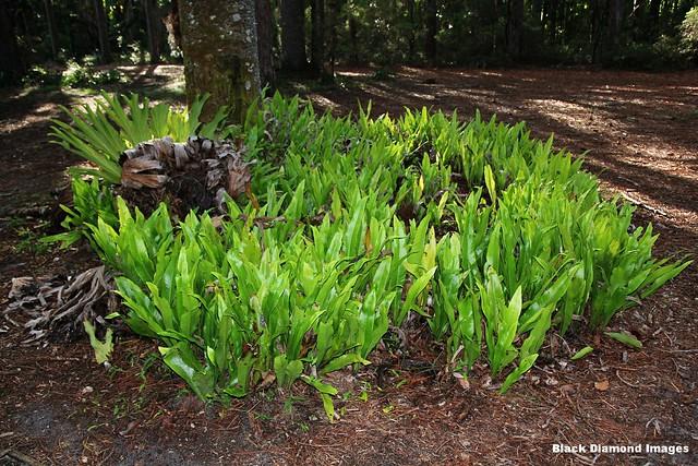 Platycerium bifurcatum & Microsorum punctatum - Climbing Birds Nest fern - Central Station, Fraser Island (K'gari), SE Queensland.