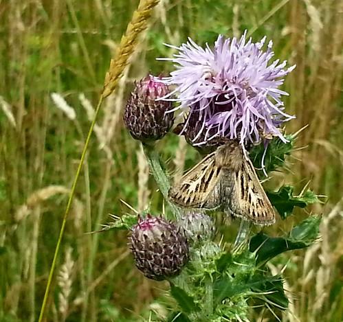 20140726_110550 Antler Moth