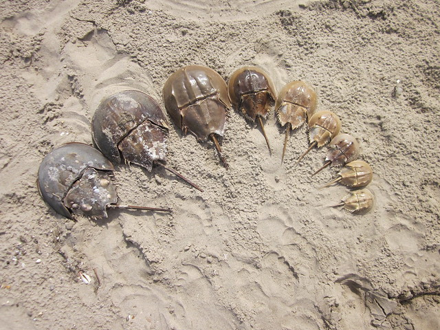 Graduated horseshoe crabs