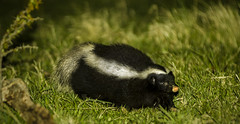 badger(0.0), whiskers(0.0), skunk(1.0), animal(1.0), grass(1.0), nature(1.0), fauna(1.0), wildlife(1.0),