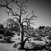 Joshua Tree by tofuguns