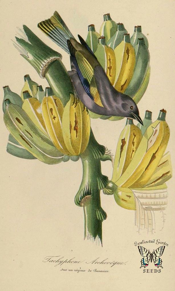 Banana, plantain.  Musa paradisiaca. Illustration by Jean Theodore Descourtilz. Le jardin des plantes, Bernard, P., Couailhac, L. (1842)