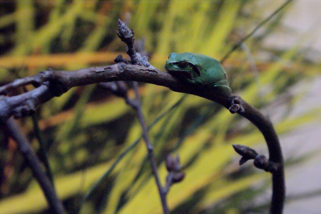 Petite grenouille verte de l'aquarium de Lisbonne.