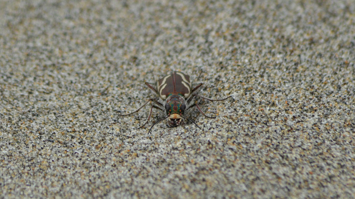 Pacific Dune Tiger Beetle