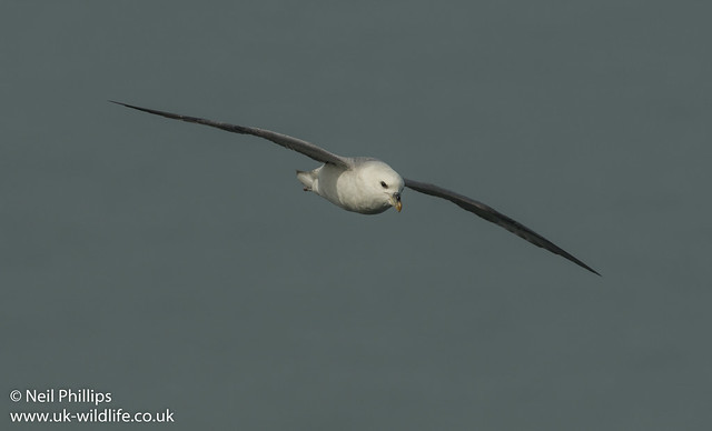 fulmar in flight-2