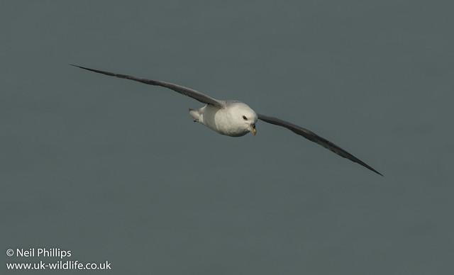 fulmar in flight-2