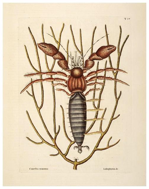017- Cangrejo hermitaño-Natural History of Carolina, Florida and the Bahama Islands-Vol2-1754