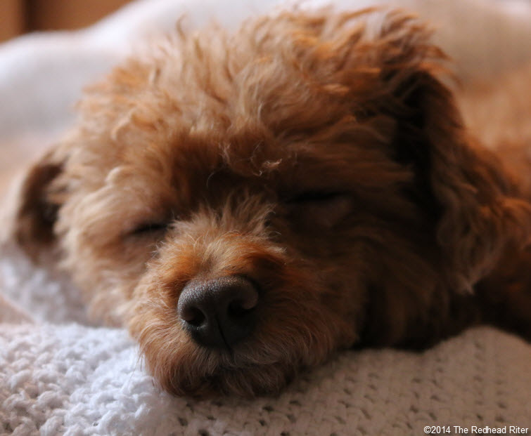 sleeping red toy poodle closeup - Committed, Understanding, Comforting And Loves Me Unconditionally