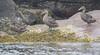 Common Eider (Atlantic) - Somateria mollissima dresseri