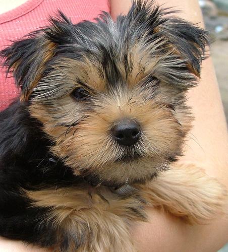 Perro Yorkshire Terriers