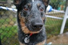 dog breed, animal, dog, pet, mammal, australian cattle dog, mudi,