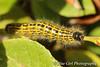 Buff-tip Moth caterpillar